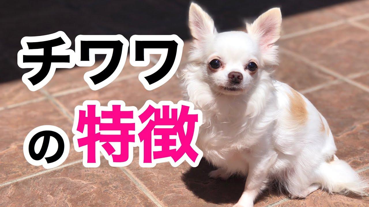 チワワってどんな犬種なの?特徴・性格について解説している動画まとめ9選