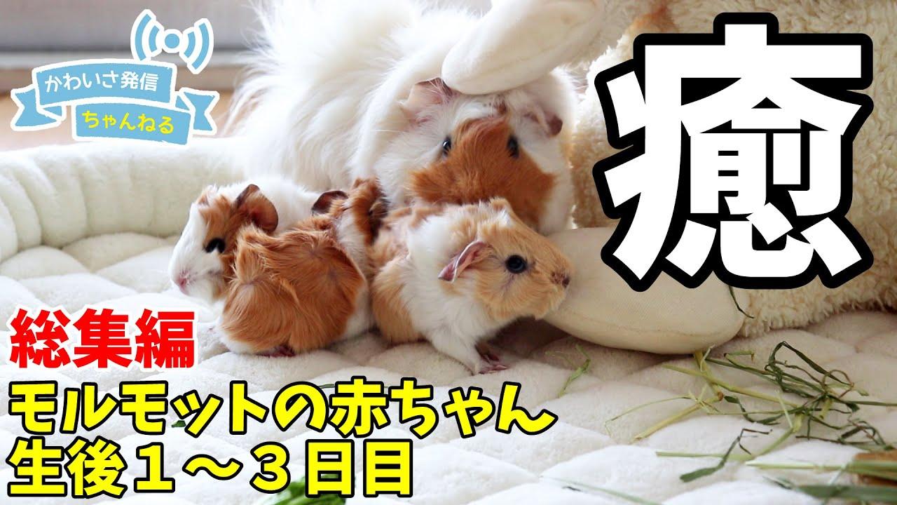 モルモットのカワイイ赤ちゃん動画厳選5本!まさに究極の癒し小動物…