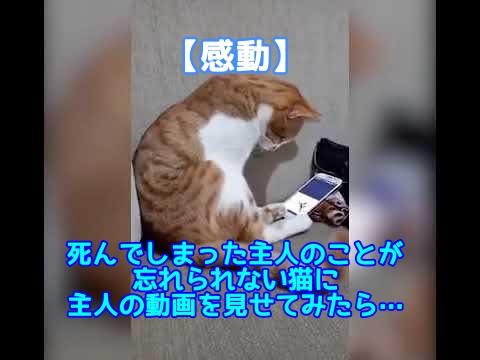 【涙動画】飼い主を忘れることができない猫に死んでしまった主人の動画を見せたら…