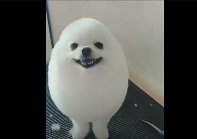 アザラシのようにヘアカットされたかわいい犬