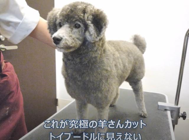 羊にしか見えないトイプードルのヘアカット