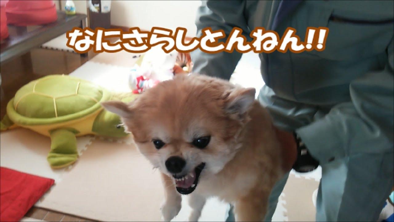 【2021年最新版】キレる犬の動画特集10選!怒り方がカワイイ(笑)
